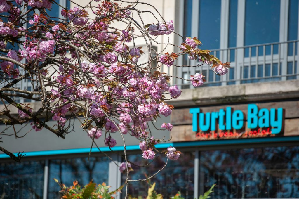 Turtle Bay, Swansea signage and blossom tree
